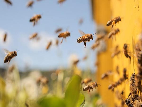 Ong bay vào nhà là điềm gì