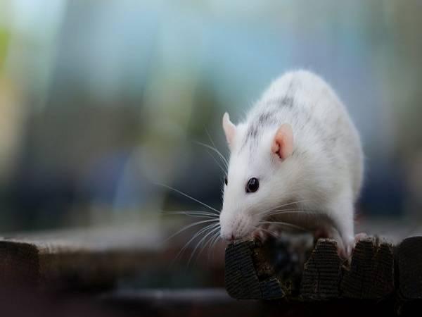 Chuột kêu ban đêm là điềm gì